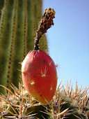 A Bud Ripens Under The Desert Heat