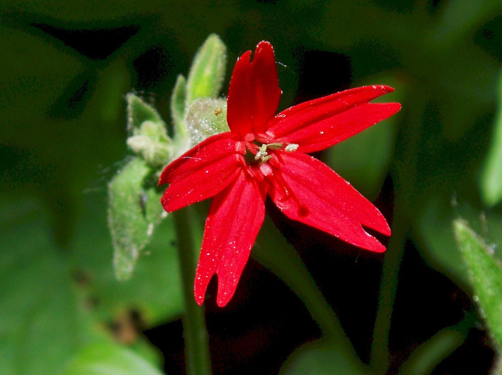 Poison Ivy Natures Three Leaf Wonder Fire Pink Scarlet Catchfly