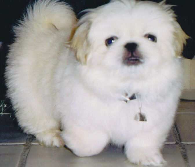 ... dog that are small and have long hair pekingese breed has a long body
