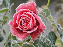 Rose Line Renaud