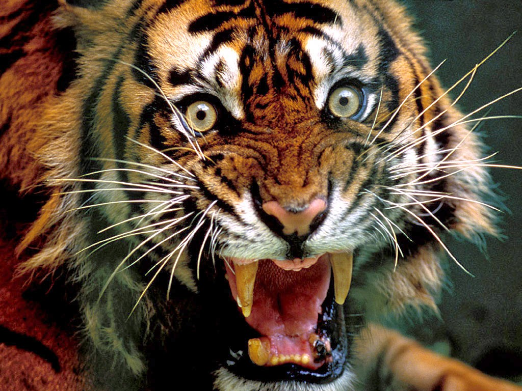 group of angry tiger 3d hd