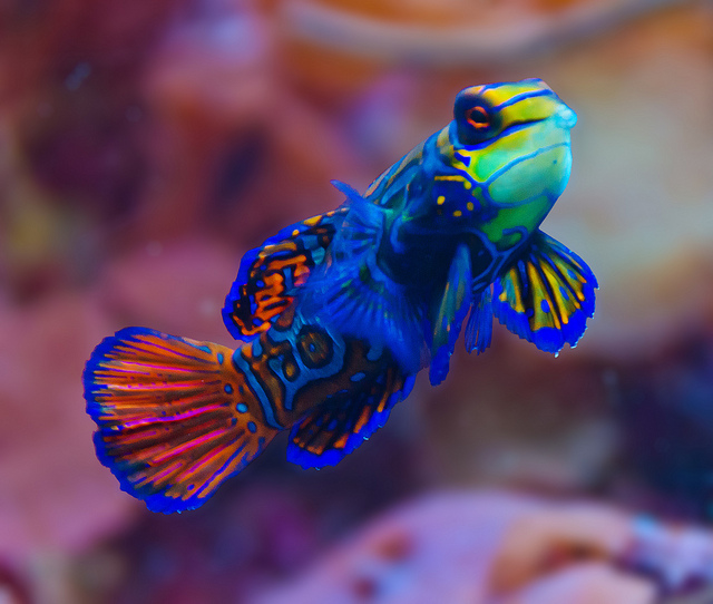 Mandarinfish wild life animal for Cold freshwater fish