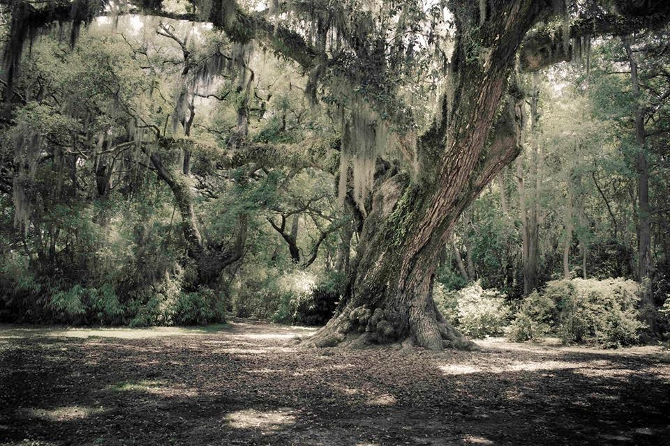 Old Oak on Avery Island