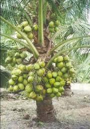 bibit kelapa genjah