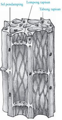 Pembuluh tapis pada jaringan pengangkut
