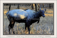 Male Blue-bull (Nilgai), Ranthambore, Rajasthan, India