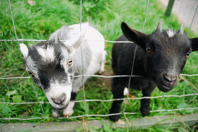 Pygmy Goats - Gorgie City Farm