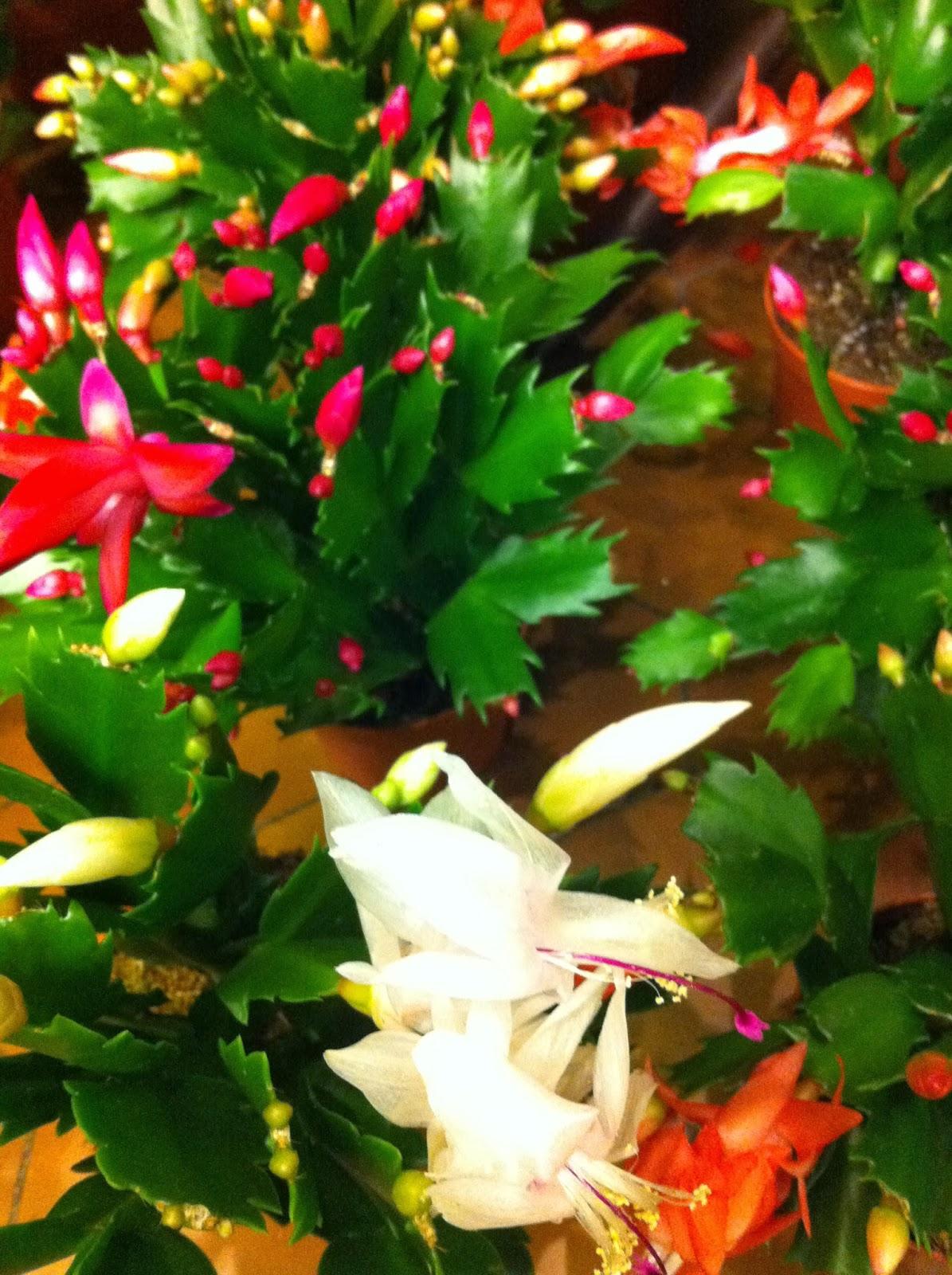 Fleuriste isabelle feuvrier le cactus de no l ou schlumbergera ou piphyllum by em origine - Entretien orchidee apres floraison ...