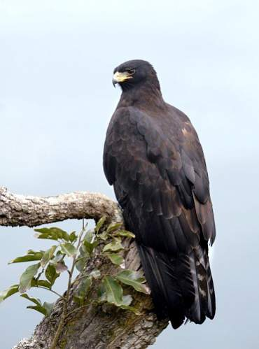 Birds of India - Image of Black eagle - Ictinaetus malayensis