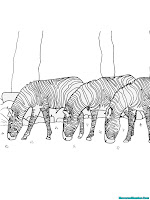 Gambar Kawanan Binatang Zebra