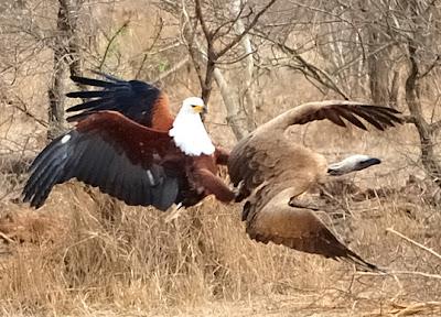 Eagle attacks