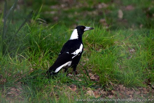 New Zealand's most fearsome bird, The Magpie, for which I've had the most healthy respect ever since I was a paperboy photograph