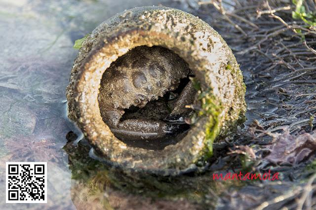 Stone Crab, Thunder crab (Myomenippe hardwickii)