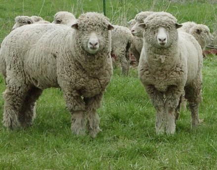 Peneliti : Jangan Sepelekan Kecerdasan Domba