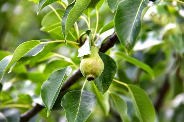 back yard pear tree (species to be determined)