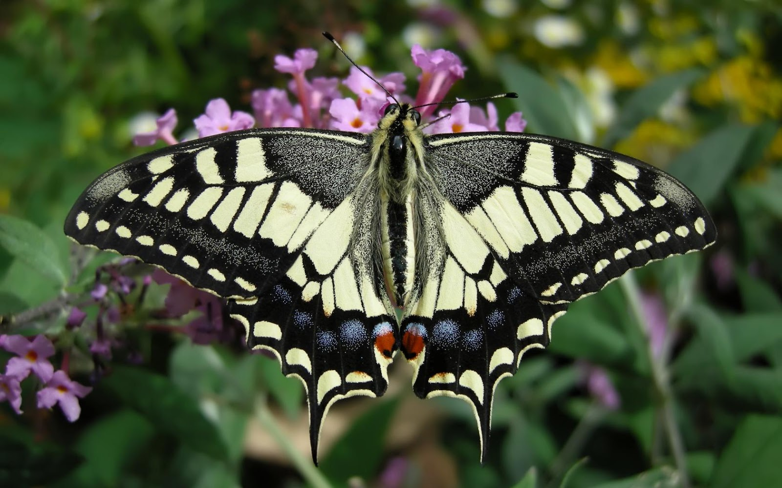 Http Gardenofeaden Blogspot Com 2013 08 The Swallowtail Butterfly Html