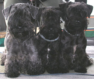 Cesky Terriers Pictures