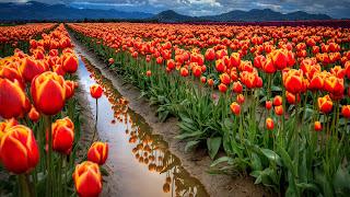 Field of Tulips Near Hills