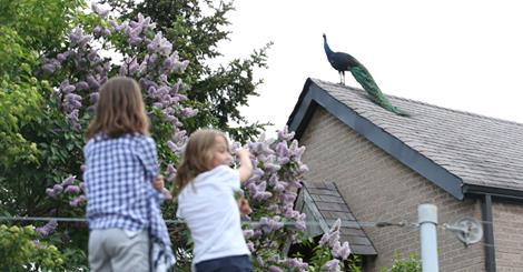 Povești din Nord (5)- Un păun pe-acoperișuri, în Toronto