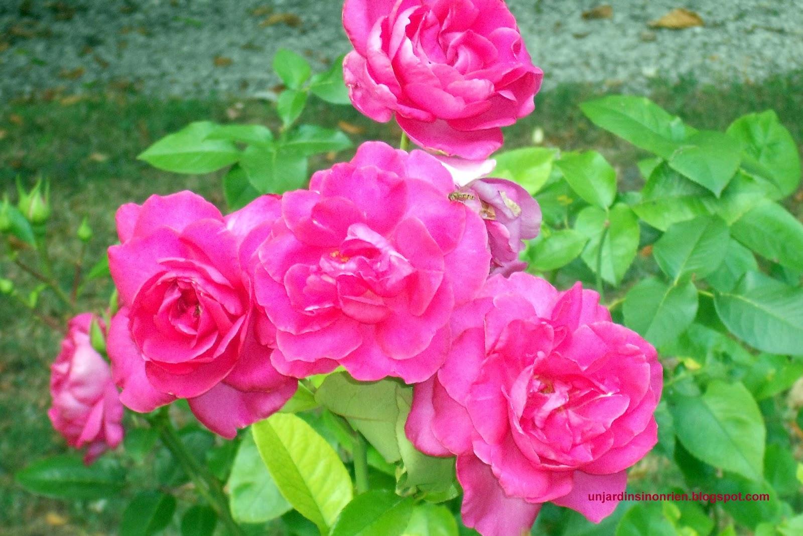 Rosier manou meilland - Couper les feuilles en fin de floraison ...