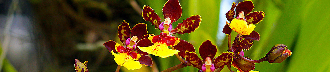 orchid flowers plants how to growing pictures and care