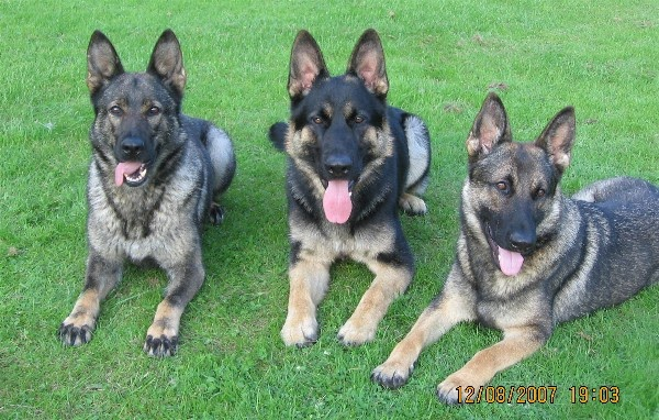 German Shepherd Show Dog Names
