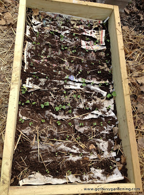 Seedlings planted in raised bed