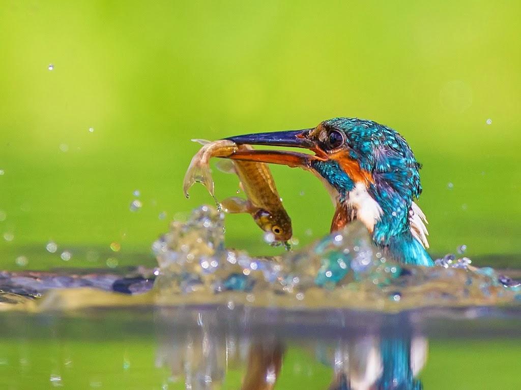 "<img src=""http://1.bp.blogspot.com/-HwQ-cyDzbwY/UtujIccBn-I/AAAAAAAAI8k/1yXLRF6-mmI/s1600/kingfisher.jpeg"" alt=""kingfisher"" />"