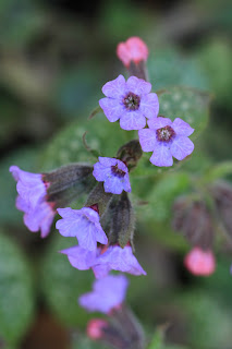 Lungwort Flowers (Pulmonaria officinalis)