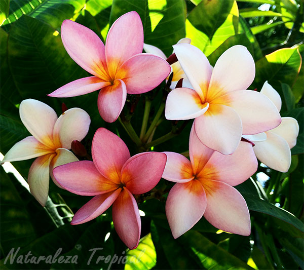 Flor de una especie de planta del género Plumeria