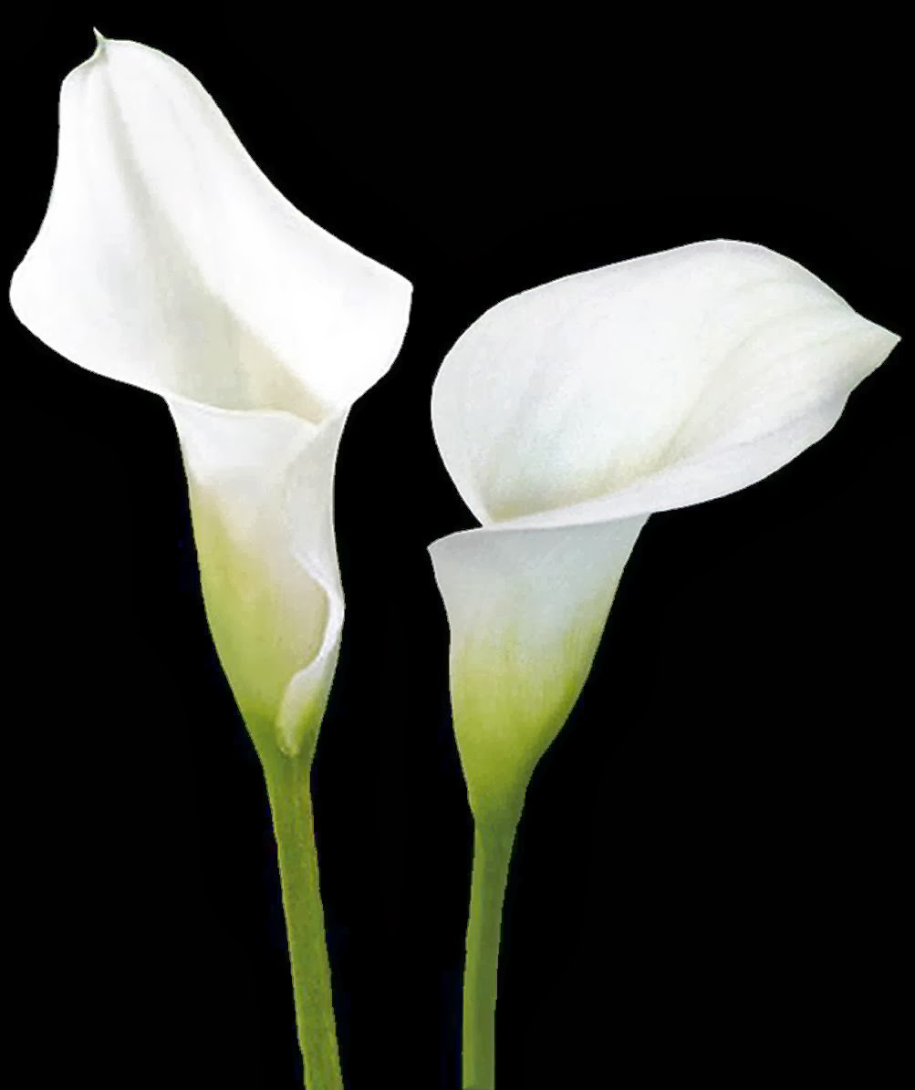Calla lily flower pictures white calla lily wallpapers izmirmasajfo