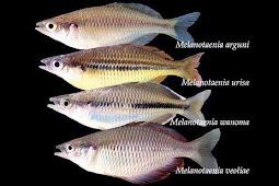 Empat Spesies Ikan Pelangi Dari Papua Barat