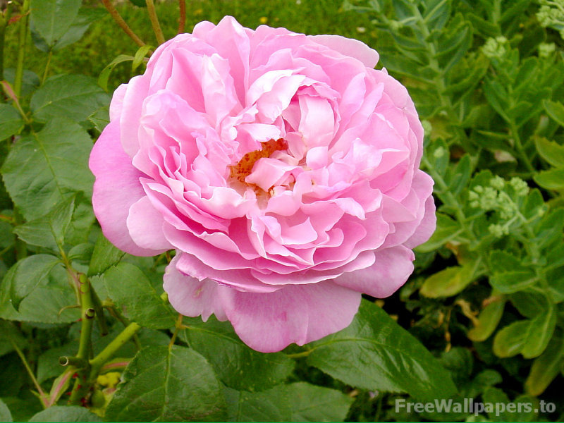 rose flower wallpaper. Amazing Rose Flower Wallpaper