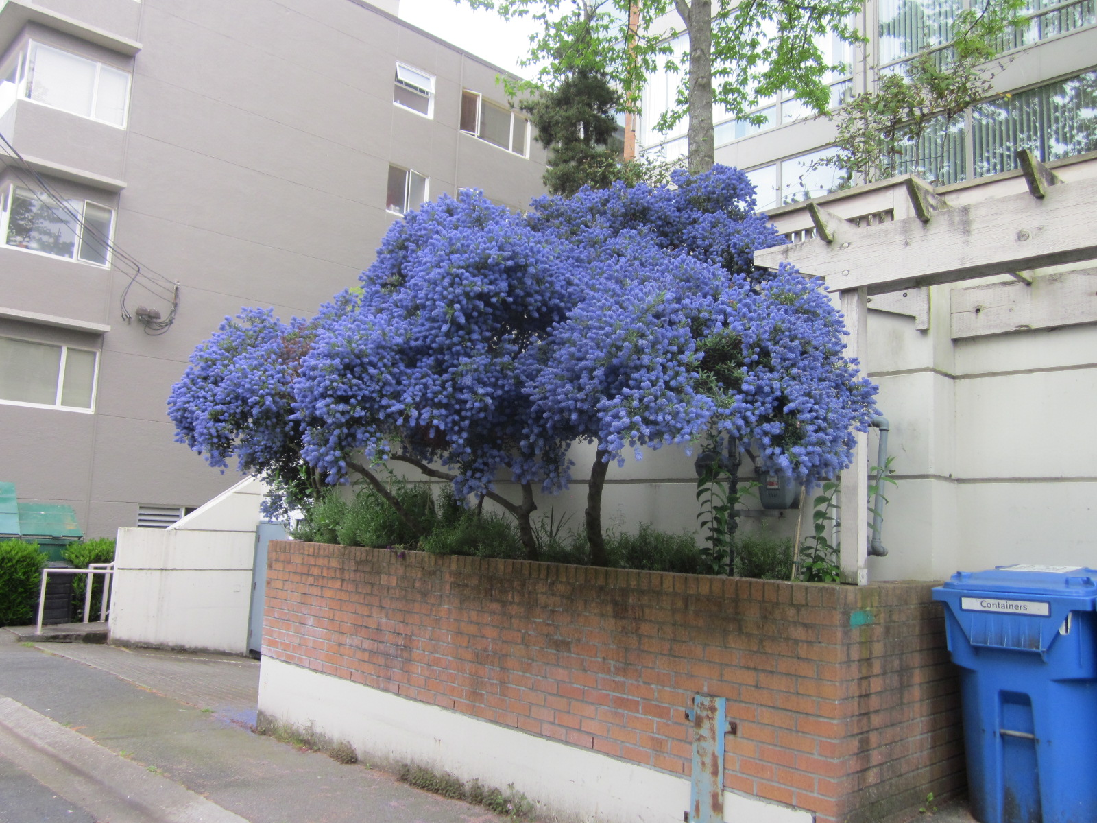 Ceanothus Is An Evergreen Shrub Or Small Tree With Many Cers Of Blue Flower Clumps In Spring And Summer Bees Swarm To The Bright Flowers Early