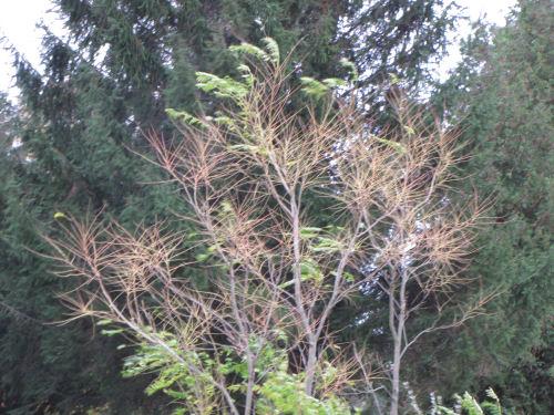 ailanthus stems