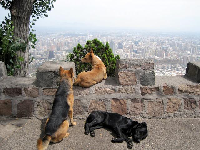 street dogs of santiago de chile