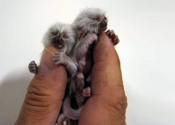 Cute Animals-Finger Monkey