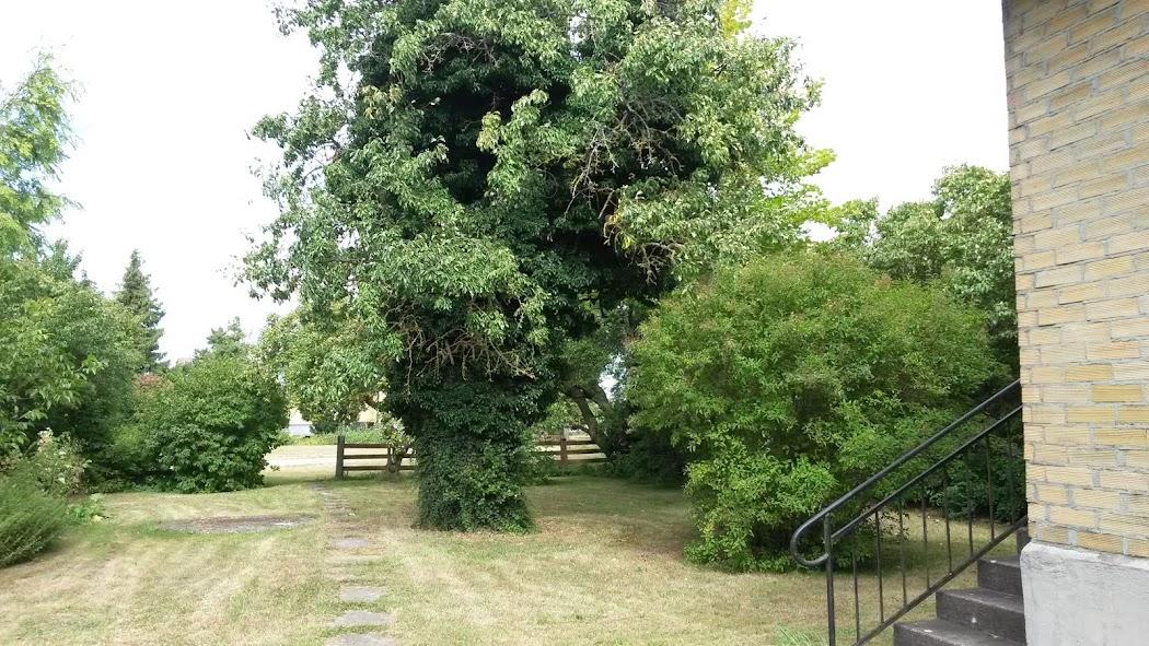 Päronträdet med all murgröna.