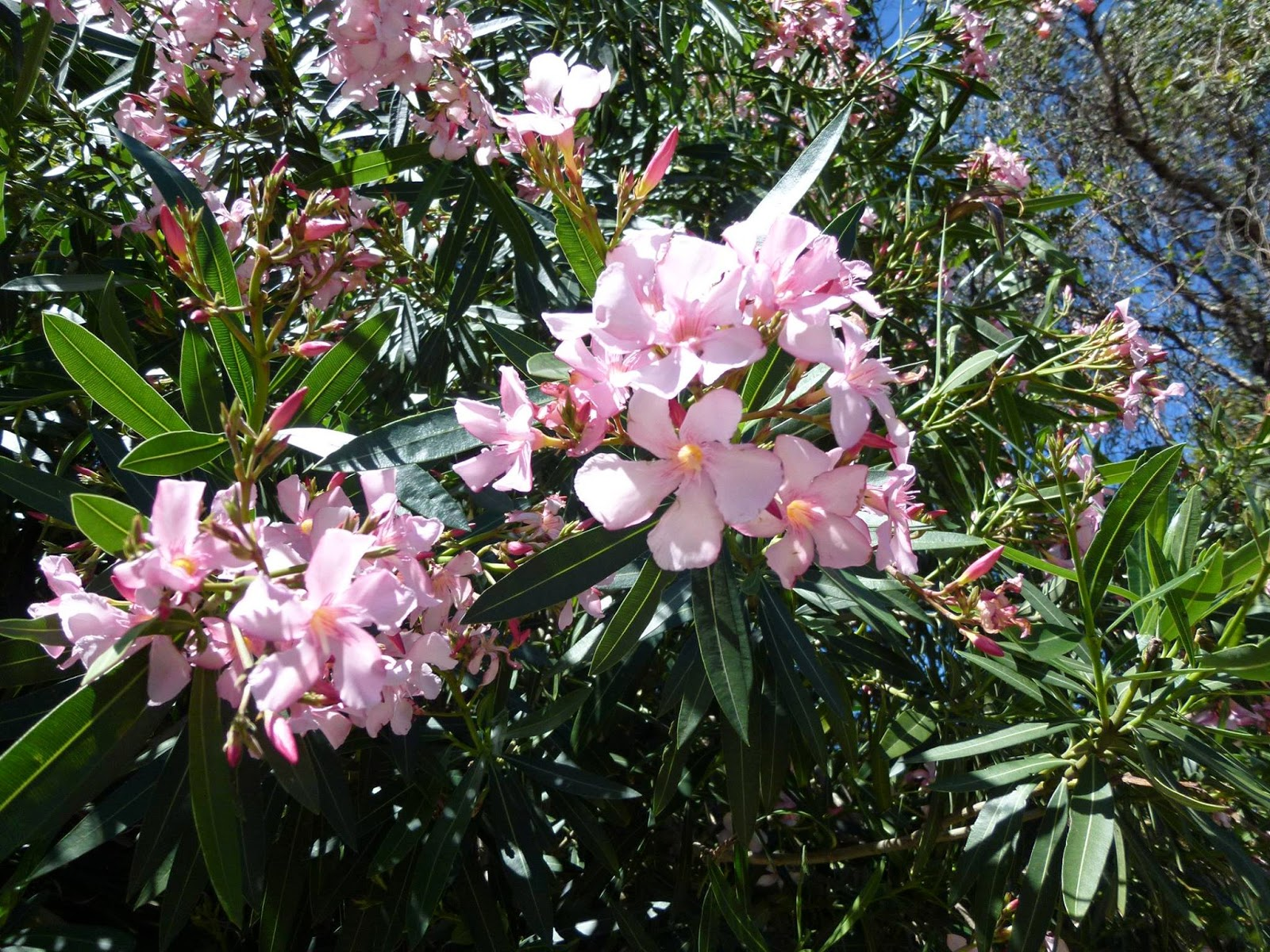 A singaporean uncle in australia beautiful but deadly flowers or chews leaves from the oleander how do i know because i googled this information for you httppetpoisonhelplinepoison oleander izmirmasajfo
