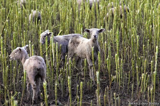 Sheep in a winter feed crop, SH2, Central Hawke's Bay photograph