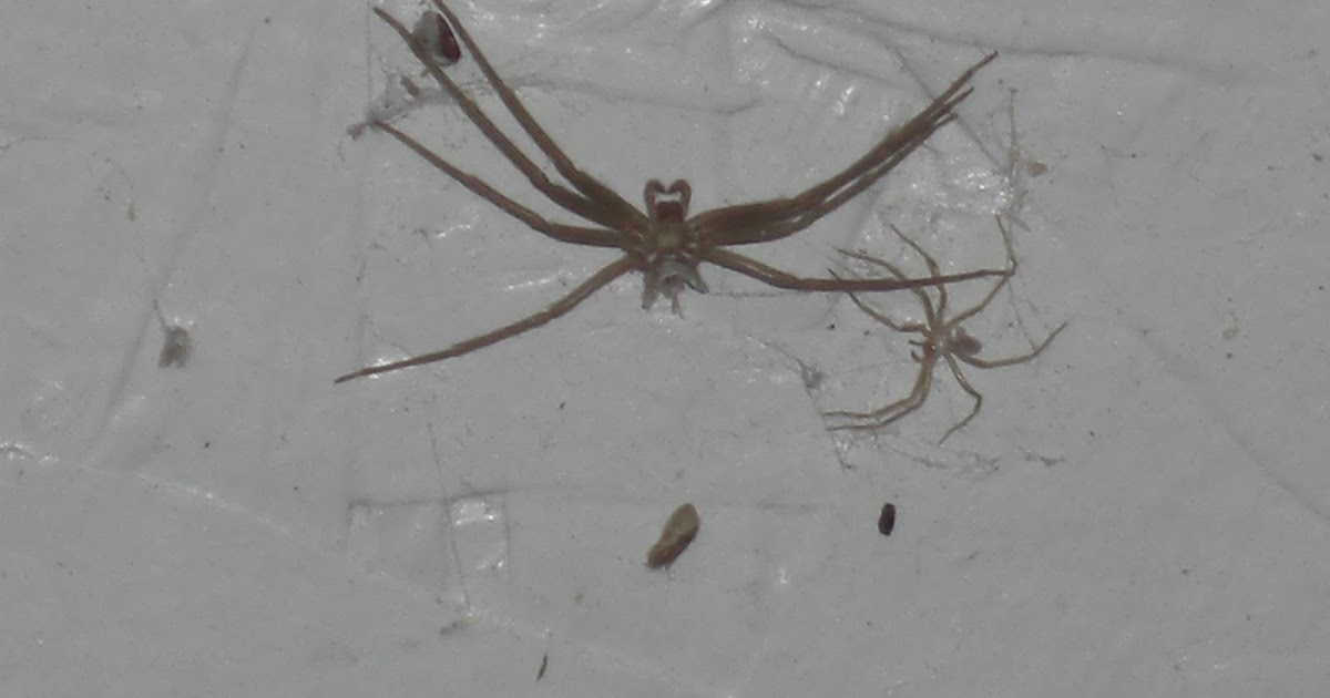 UCR Spiders Site: Myth of the Brown Recluse