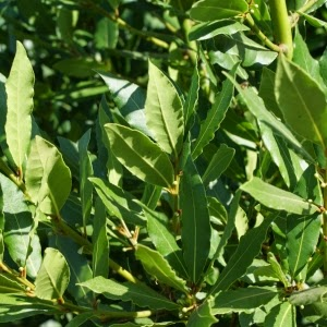 http://www.cantinhodasaromaticas.pt/loja/ervas-aromaticas-secas-bio/loureiro-laurus-nobilis-2/