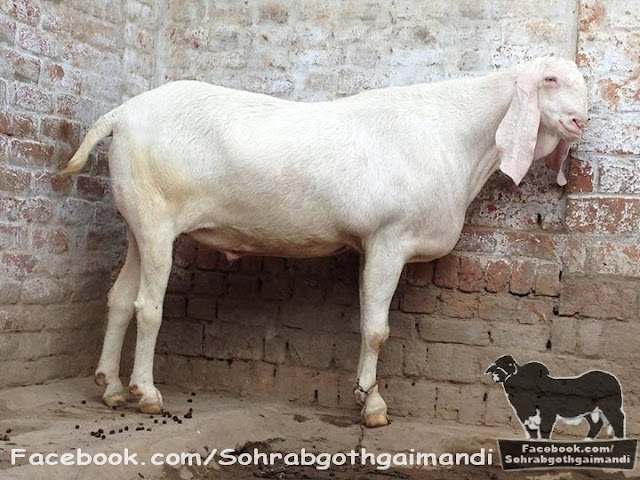Bakra for Sale 2013