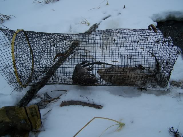 Muskrat Trapping Pictures The Picture Shows The Trap