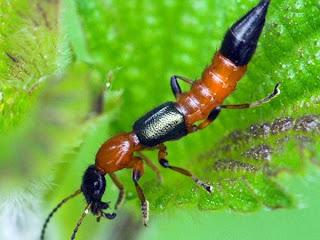 Kumbang Paederus(Tomcat)