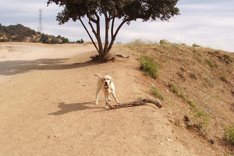 Labrador big stick Runyon Canyon