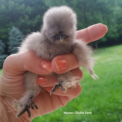 lavender silkie chick
