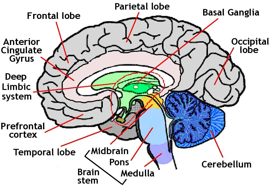Diagram Of The Human Brain Labeled Gallery - human body anatomy