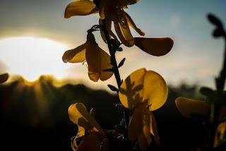 foto fiori di ginestra