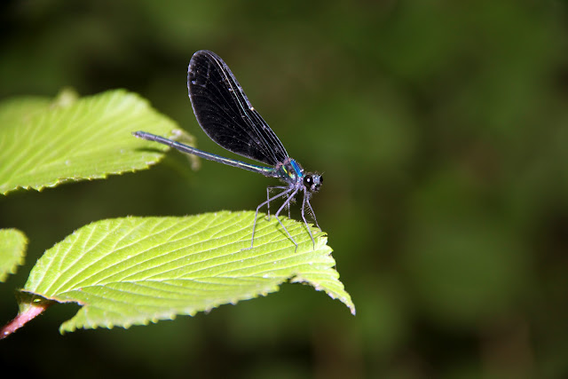 damsel fly on a leaf